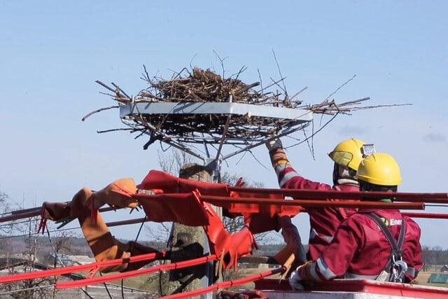 Energetycy montują platformę pod gniazdo bociana, na słupie energetycznym.