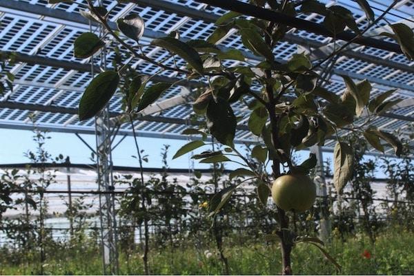 Agrowoltaika: panele słoneczne nad jabłoniami
